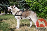 そり 犬であるライカ向けの最適なレザー胴 輪!